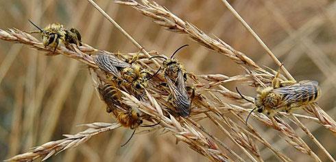 Bild: Wildbienenvereinigung - Schmetterlingswiese - NABU Ravensburg