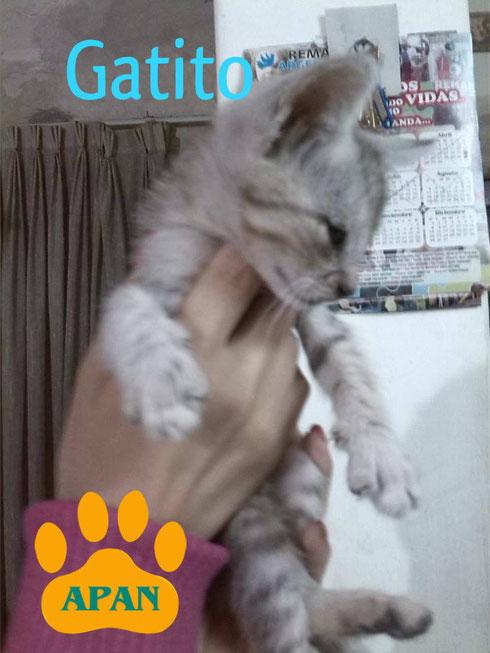 hermoso-gatito-en-adopcion-salta