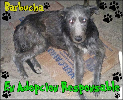barbucha en adopcion