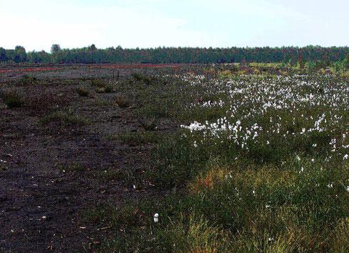 Abb. 1: wenig bewachsener Torf (links) und Torfbereich mit Wollgräsern und Binsen (rechts)  (Foto: Andrè Deter)