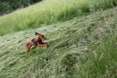 Bailey als Junghund