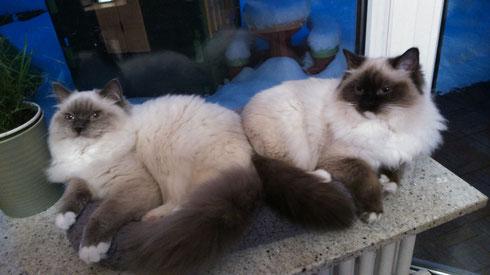 Kajika Rags' Shaman alias Bendix (blue mitted)  und Kajika Rags' Shenandoah alias Bonnie (seal mitted), beide * 10.7.2014, wohnhaft in Rottweil