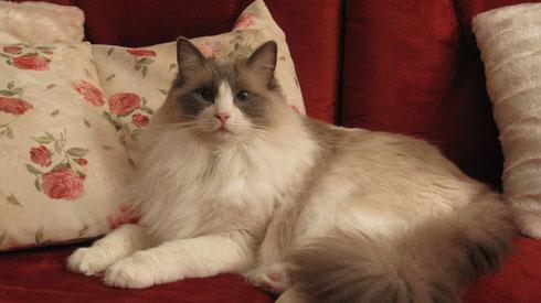 Kajika Rags' Cheyenne alias Jeannie (blue bicolour), * 22.09.2010, ist nun Ostfriesin und wir beneiden sie sehr darum!