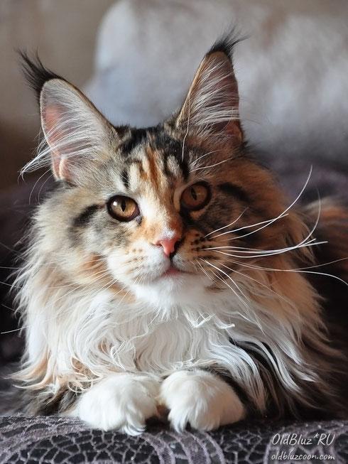 Shalimar Oldbluz  кошка черная мраморная черепаховая с белым MCO f 22 09