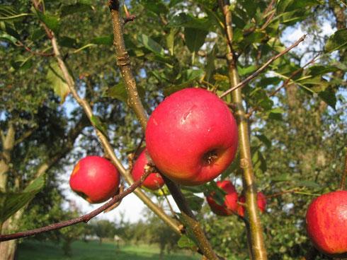 Der Topas mit seinen ersten Früchten 2014 Foto: R.Selig