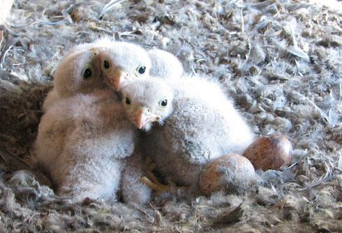 Vier Kücken sind da!  Offensichtlich hat die Falken-Dame sogar noch ein weiteres Ei glegt - es sind noch 2 Eier vorhanden Foto: H.-J. Blohm