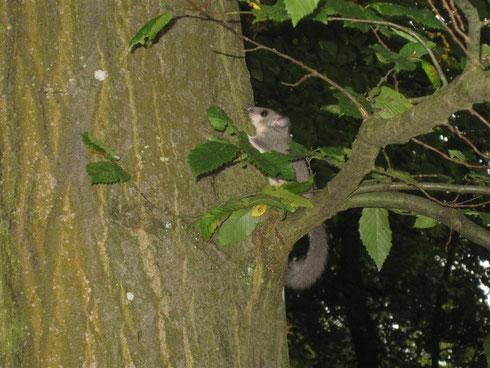 Auf dem Baum in Sicherheit bringen. Foto:R. Selig