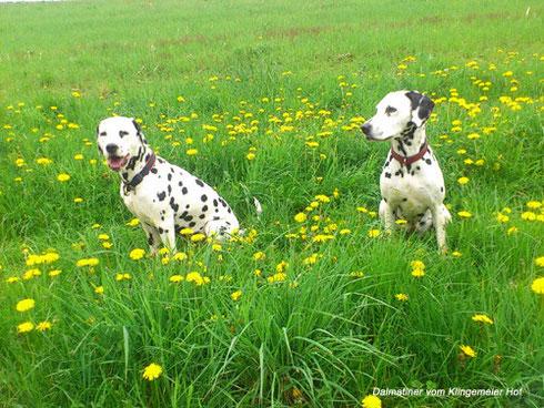Anfang Mai sind die Wiesen bei uns im Sauerland gelb: Löwenzahn soweit das Auge reicht! Unsere Beiden sind auch schon leicht eingefärbt!