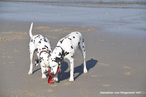 Unsere aktiven Senioren rennen und spielen am Strand um die Wette: Hier kommen knapp 20!!! Hundejahre zusammen. Danci wird am 8. Mai 11Jahre alt, Fine ist 8,5 Jahre . Toll!
