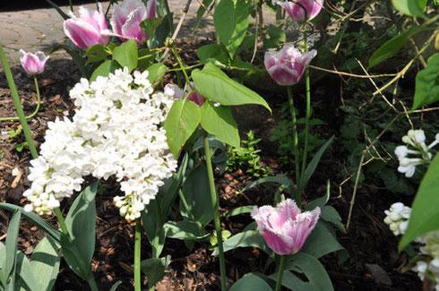 Nach dem feuchtwarmen Wetter der letzten Tage hat am 1. Mai auch bei uns im Garten der Frühling Einzug gehalten: Aus Holland importierte Tulpen vertragen sich mit Sauerländer Flieder.