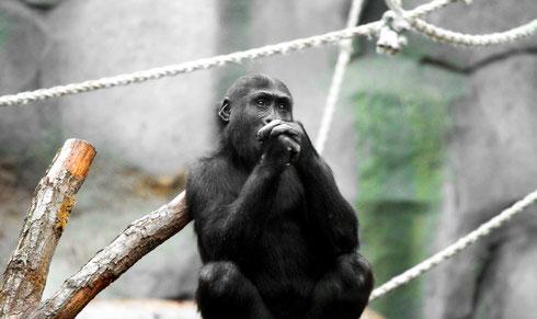 Gorilla Zoo Frankfurt