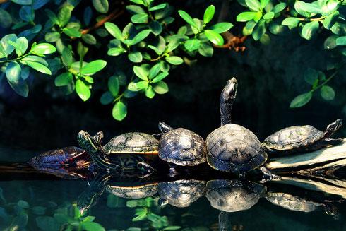 Wasserschildkröten Fankfurter Zoo