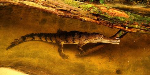 Krokodil Frankfurt Zoo