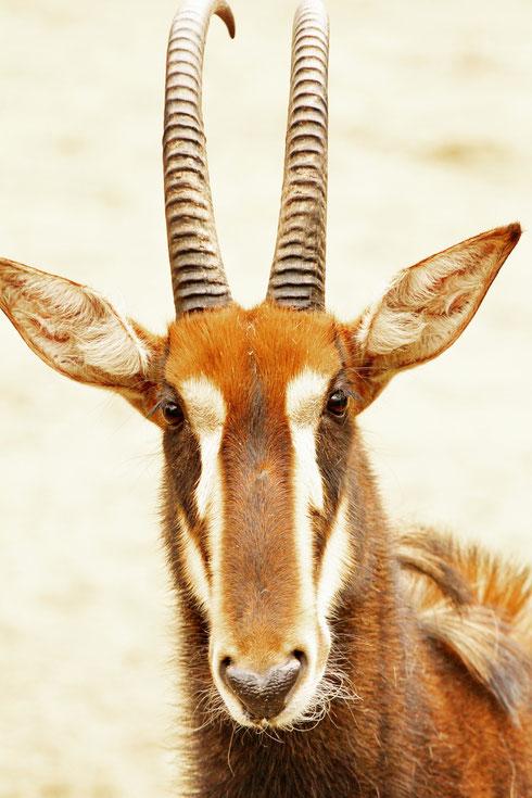 Rappenantilope