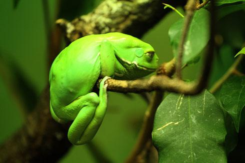 Maki-Frosch