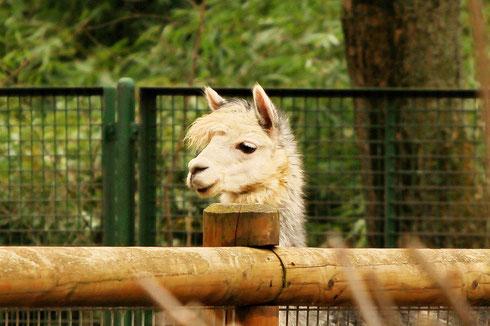 Lama Frankfurt Zoo
