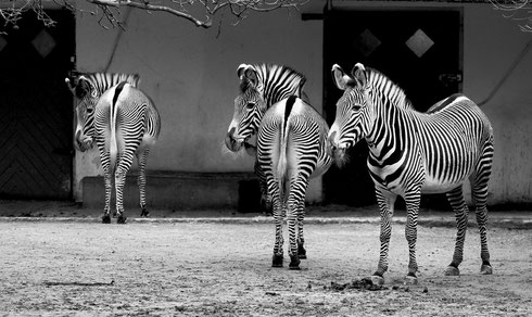 Frankfurt Zoo Zebra