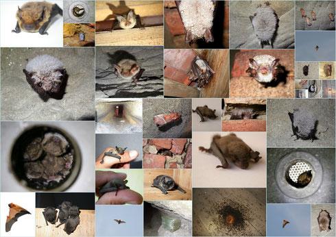 Fledermaus-Collage von unserem NABU-Fledermaus-Fachbeauftragten Luis Ramos