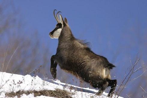 Un animal exceptionnel et super inacessible... surtout à l'arc !