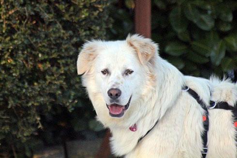 Annabelle darf als eigener Hund in ihrer Pflegestelle bleiben !