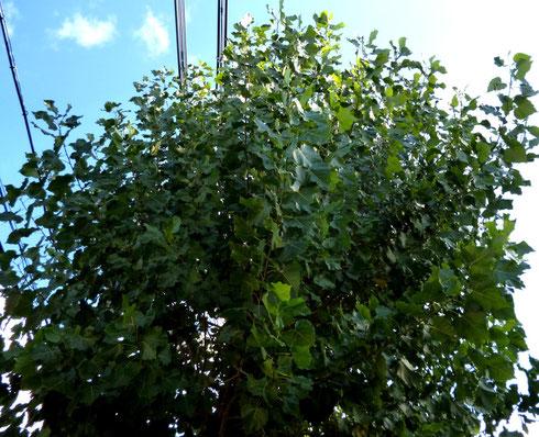 散髪前の街路樹