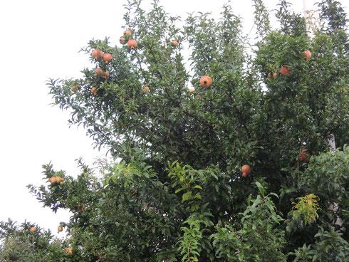 ざくろの大木に実がいっぱい