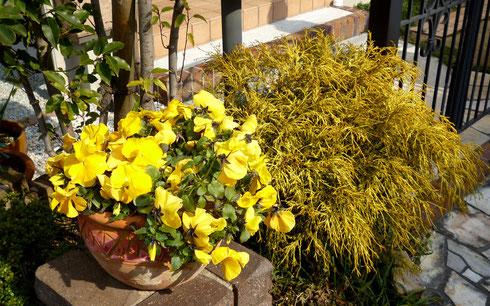 パンジーがレンガ台や観葉植物などとなじみ ~ いいムード!