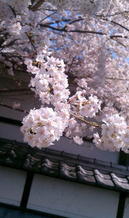 jun.ちゃんから貰った長野の桜