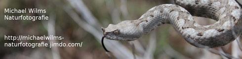 Diese Seite ist der Naturfotografie, insbesondere der Schlangenfotografie und Reptilienfotografie gewidmet. Zu finden sind Fotos aller deutschen und vieler europäischer Schlangen, insbesondere der Ringelnatter, der Kreuzotter, der Hornotter (giftigste Schlange Europas) und der der Aspisviper, aber auch der Würfelnatter, der Aspisviper, der Leopardnatter (schönste Schlange Europas).