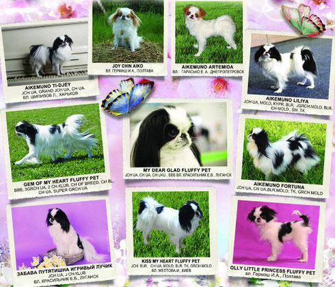 ВКП ЯХ-клуб породы японский хин, японские хины Украины, Квитка Сакуры, купить  щенка японского хина