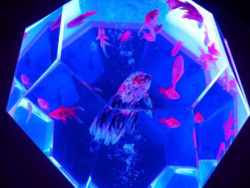 透明な多面体の水槽でプリズム効果をもたらすアクアリウム「プリズリウム」の新たな試み「新江戸金魚飾」
