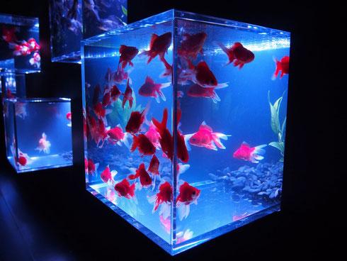普段なかなか目にすることのない珍しい品種を展示した「金魚コレクション」