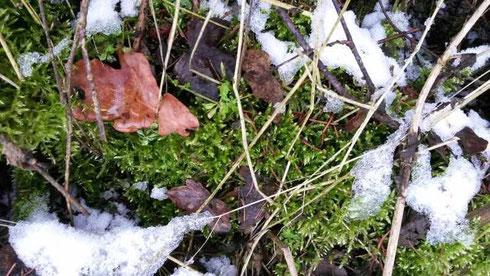 Rotbraunes Eichenlaub und grünes Moos bilden eine hübschen Kontrast zum weissen Schnee