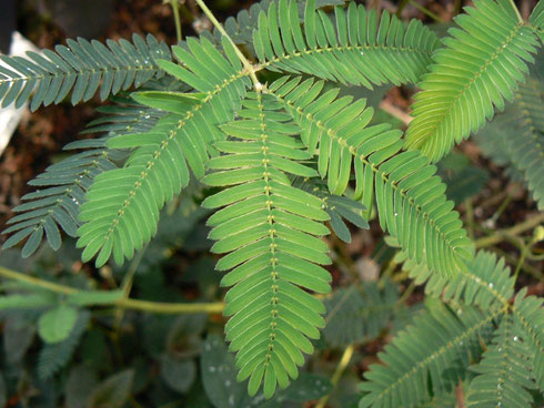 Die Blätter der Mimosa ...rührt man sie an...probiers mal aus ;-)