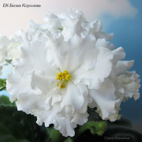 ЕК-Белая Королева