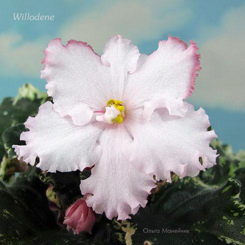 Willodene