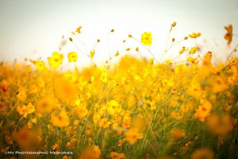 黄色とオレンジ色のコスモスが満開でした(2012.9.27現在)