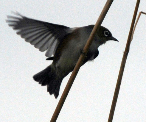 Silvereye taking flight from a reed, Rakiura Track near Lee Bay, Stewart Island.