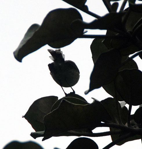 Bird and foliage silhouette on the Rakiura Track, towards Maori Beach, Stewart Island.