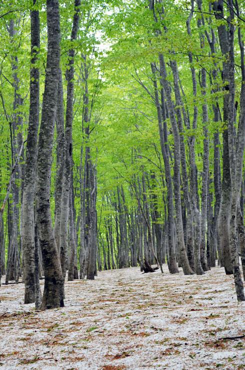 帰りのブナの森