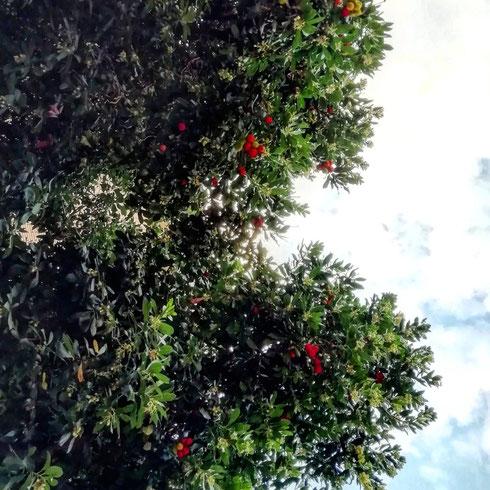 La prima volta che ho assaggiato i corbezzoli è stato salendo su per il promontorio del Circeo, dove per tutti sono le ciliegie di mare. Da allora, ogni volta che vedo questi dolcissimi fruttini rossi, mi arrampico come nemmeno una capretta in cerca di erba fresca: immaginate allora la mia gioia quando ho visto questo albero così carico di frutti dalle parti di villa Lais (e lo sconcerto dei passanti vedendomi mentre cercavo di avvicinarmi ai rami)...