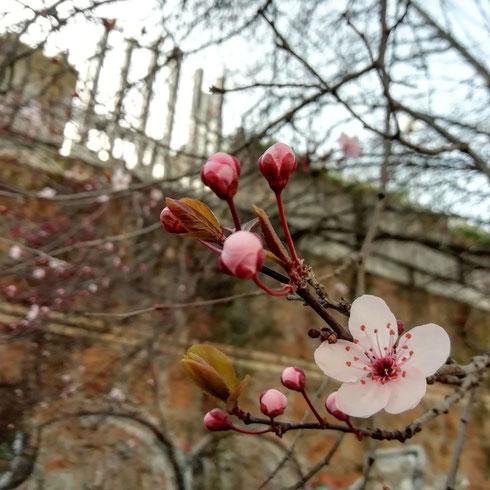 Prima o poi la smetterò di guardare per aria alla ricerca di alberi fioriti...forse