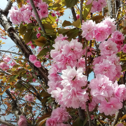 Pro memoria: è freddo, ma i ciliegi in fiore mi ricordano che sì, siamo ancora in primavera