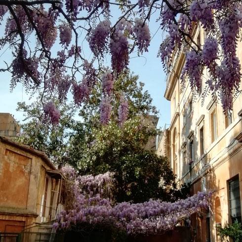 Aprile a Roma vuol dire solo una cosa: a via Margutta i glicini sono in fiore, e il profumo si sente in tutta la strada