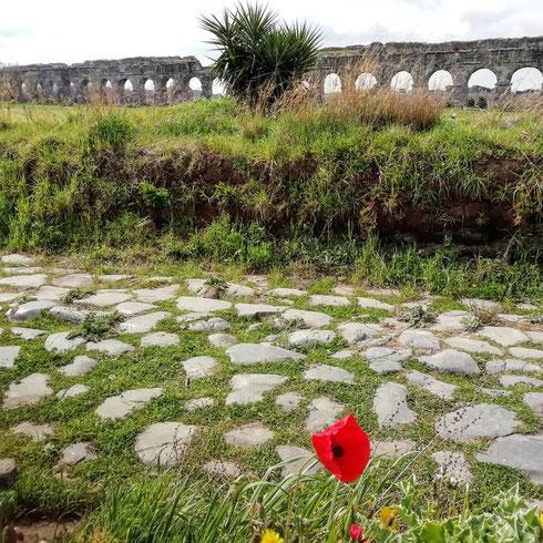 Un papavero si mette in posa davanti ai resti della via Latina e dell'acquedotto Claudio, ma io vedo solo lui