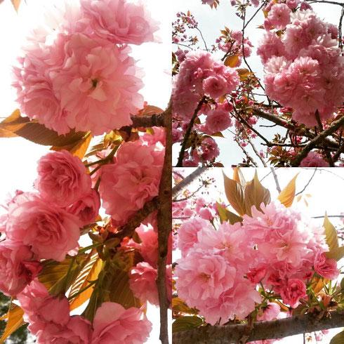 Per i giapponesi l'hanami, la festa della fioritura dei ciliegi, è un appuntamento irrinunciabile in primavera. Non sarà il Giappone, ma anche i gli alberi di Valle Aurelia si difendono bene...