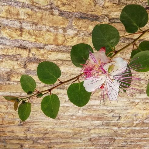 Guardare un fiore così bello...e pensare alla pizza. Questa meraviglia è la pianta del cappero: basta allenare un poco l'occhio e in città si ritrova un po' ovunque; qui per esempio sono all'isola Tiberina. L'effetto collaterale è che io quindi penso sempre alla pizza