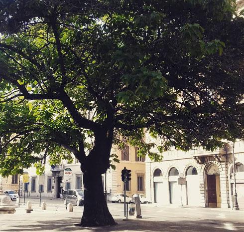 Tutti presi a rimirar la chiesa di santa Maria in Vallicella, pochi notano la bellezza dell'albero proprio là accanto. Che se ne sta frondoso in disparte