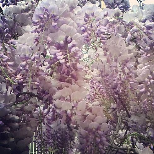 Una dolce e profumatissima pioggia color glicine si nasconde nei silenziosi cortili di via Margutta...qui sembra quasi impossibile pensare di essere a un passo dalla confusione di via del Corso