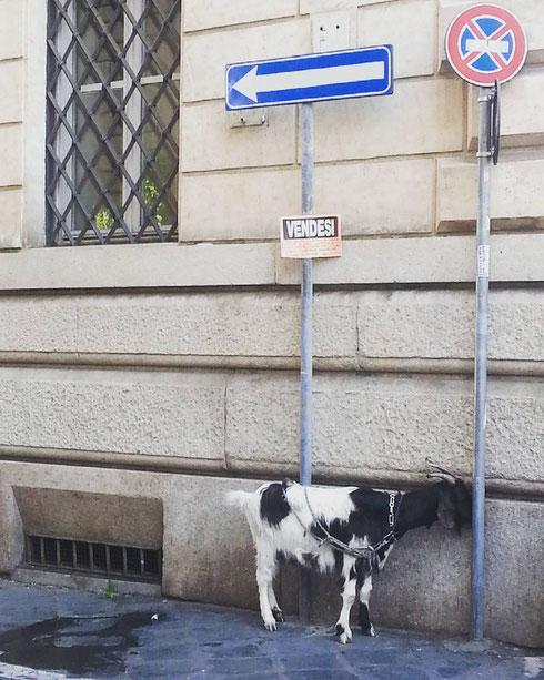 Insoliti incontri tra via Zanardelli e piazza Fiammetta...il cartello vendesi sarà forse riferito alla capretta (che è tra l'altro evidentemente in senso vietato?)